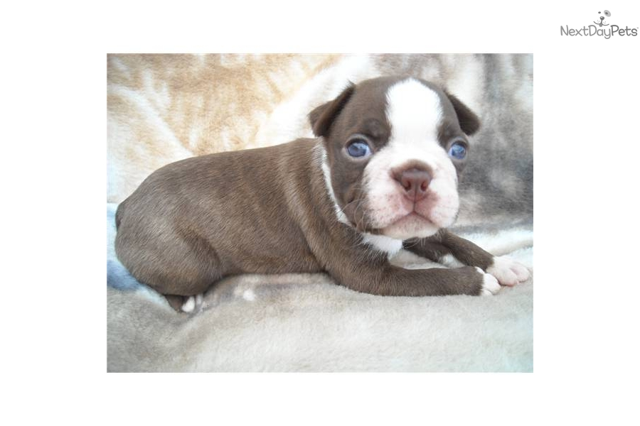 seal boston terrier boston terrier puppy for sale near dallas fort worth 5969
