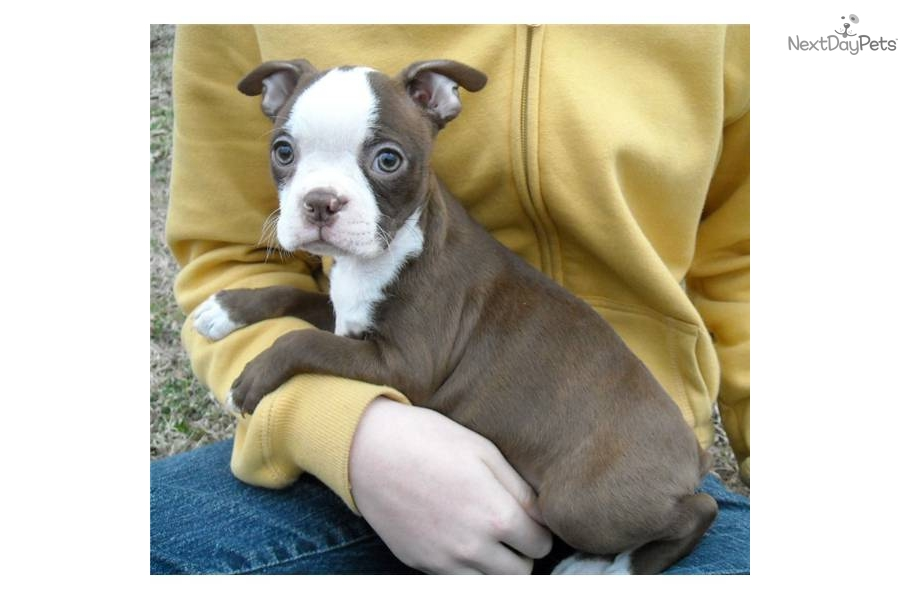 seal boston terrier boston terrier puppy for sale near dallas fort worth 8696