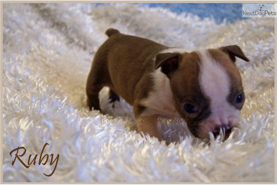 Ruby Boston Terrier Puppy For Sale Near Dallas Fort Worth Texas