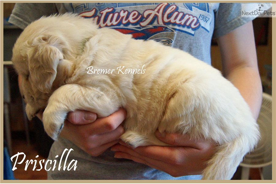 English Golden Retriever Puppies for Sale from Reputable Dog Breeders