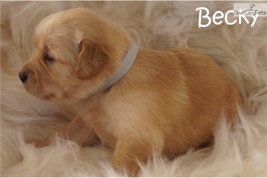Becky Golden Retriever Puppy For Sale Near Dallas Fort Worth Texas