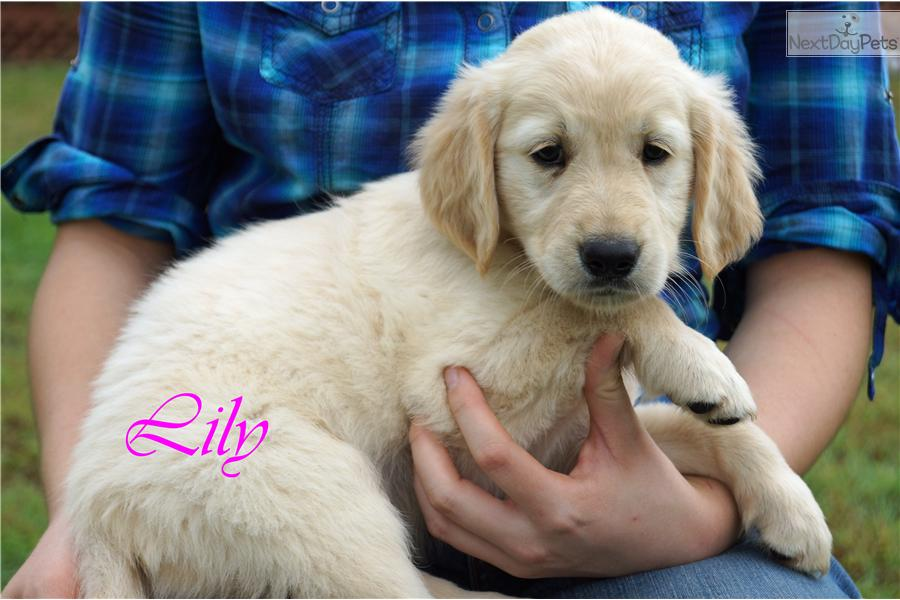 golden retriever texas golden retriever puppy for sale near dallas fort worth 3143
