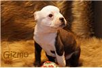 Picture of AKC Brindle and White Boston Terrier Male- Gizmo