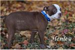 Picture of ACA Red & White Boston Terrier-Henley