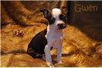 Picture of AKC Black and White Boston Terrier Female- Gwen