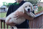 Picture of AKC English Creme Golden Retriever Male - Everest