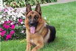Featured Breeder of German Shepherds with Puppies For Sale