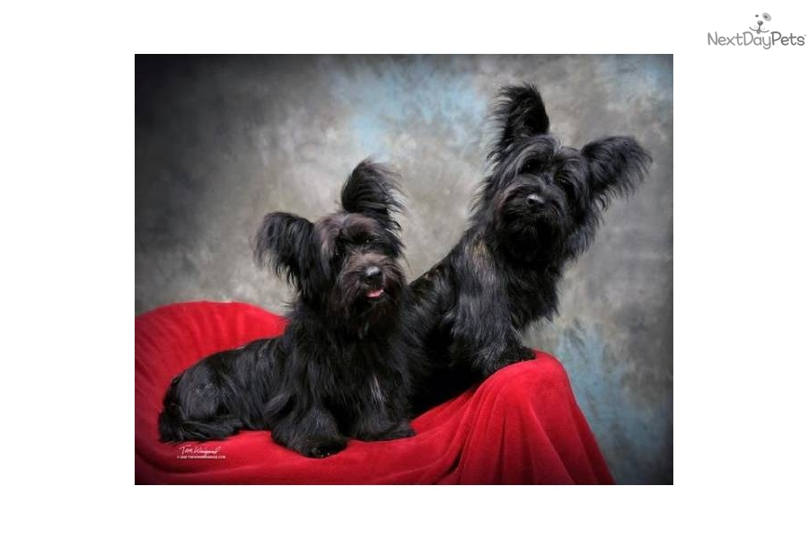 skye terrier for sale skye terrier for sale for 1 000 near dallas fort worth 5950