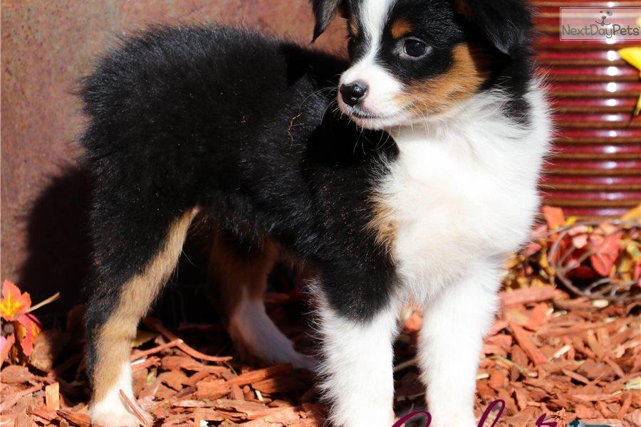 Bliss Btf: Miniature Australian Shepherd puppy for sale In New South Wales Australia