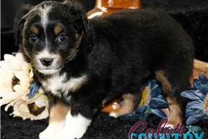 Australian Shepherd Puppies For Sale From Orange County California Breeders