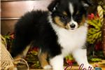 Picture of Bliss Black Tri Male 2 (toy aussie)