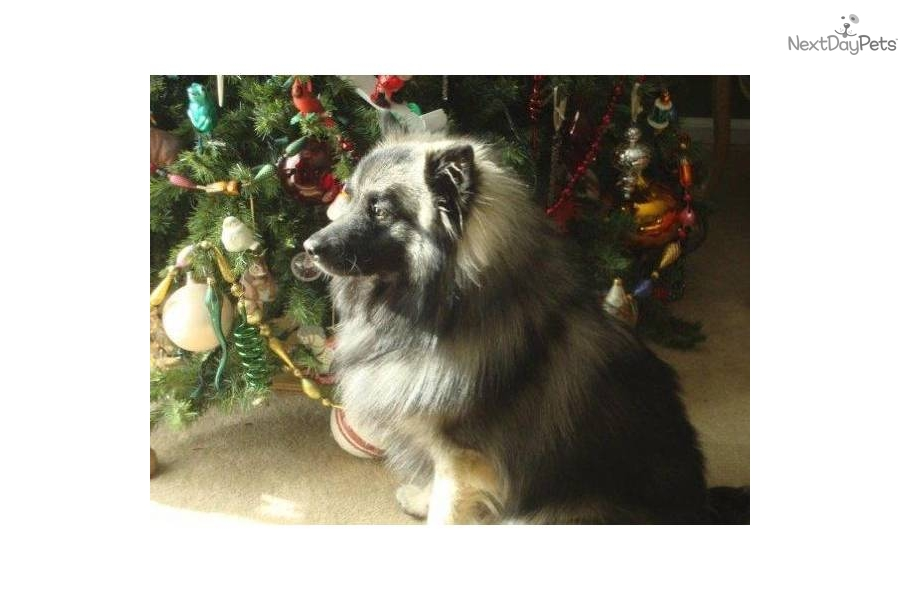 Keeshond For Sale For 900 Near South Jersey New Jersey C1796e75 1d41
