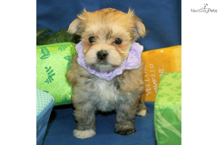 Accolades and breeding experience for your Havanese breeder