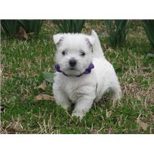 View full profile for Nancy's Westies