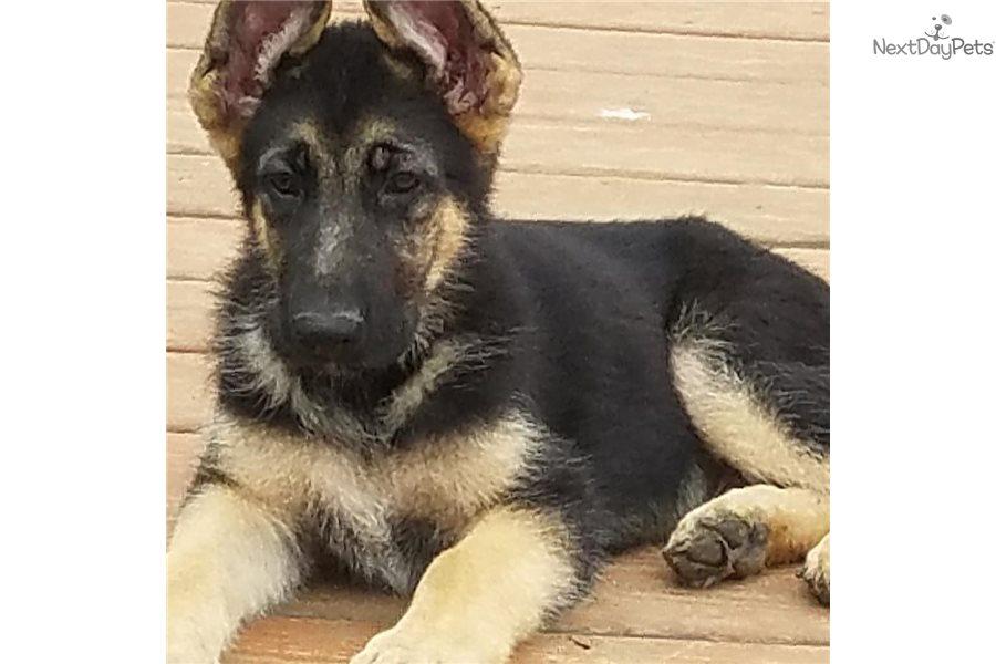 Bubba : German Shepherd puppy for sale near Dallas / Fort