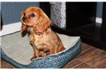 Picture of AKC OFA Ruby Cavalier Boy