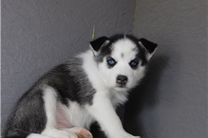 Picture of Farrah F Husky