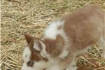 Picture of Coco's female red and white husky