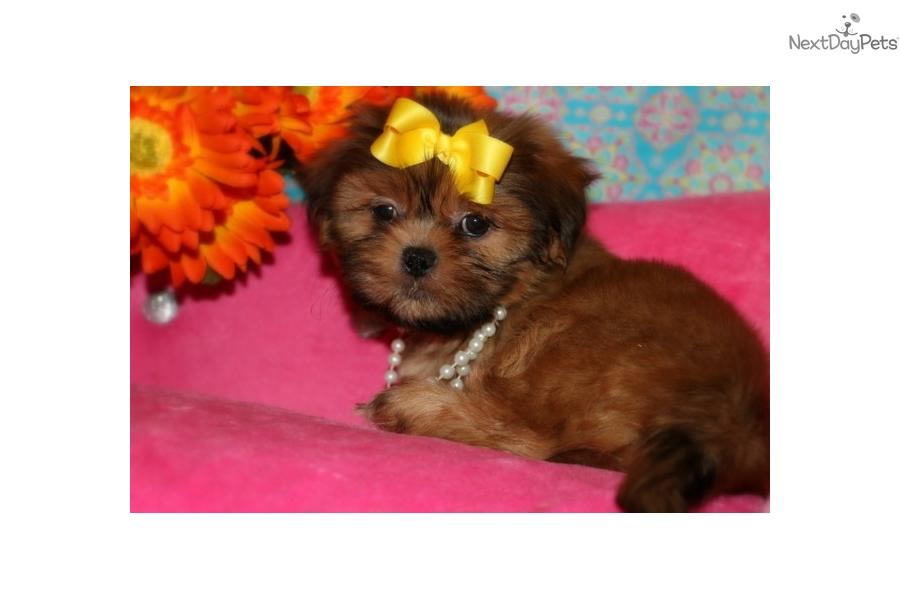 Squirrely Shih Tzu Puppy For Sale Near Central Louisiana Louisiana