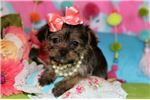 Picture of Beautiful little shorkie female!!!