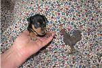 Miniature Pinscher for sale