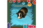 Picture of Pomchi's Blackie (Christmas baby)