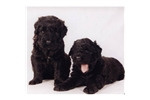 Featured Breeder of Black Russian Terriers with Puppies For Sale