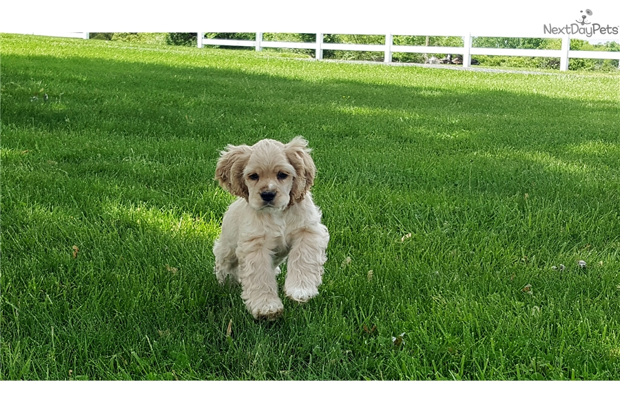 dugan cocker spaniel puppy for dugan cocker spaniel puppy for sale near springfield 9121