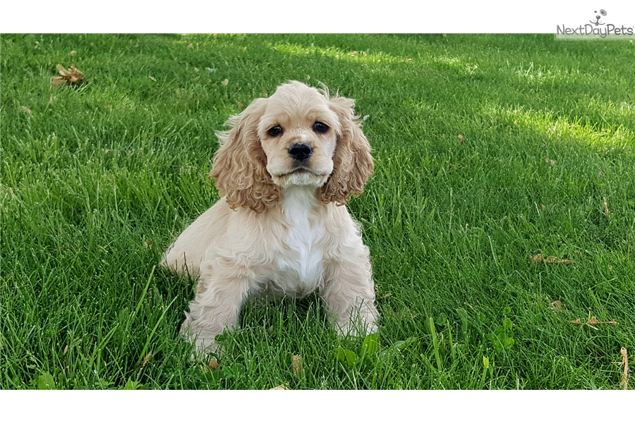 dugan cocker spaniel puppy for dugan cocker spaniel puppy for sale near springfield 7350