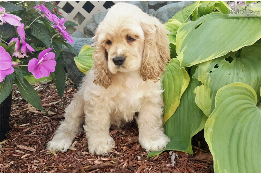 dugan cocker spaniel puppy for dugan cocker spaniel puppy for sale near springfield 4681