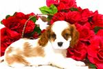 Picture of Gorgeous AKC girl parents OFA