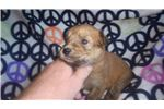 Picture of Hannah is a doll , AKC registered