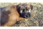 Picture of Luke loves to be held, AKC registered