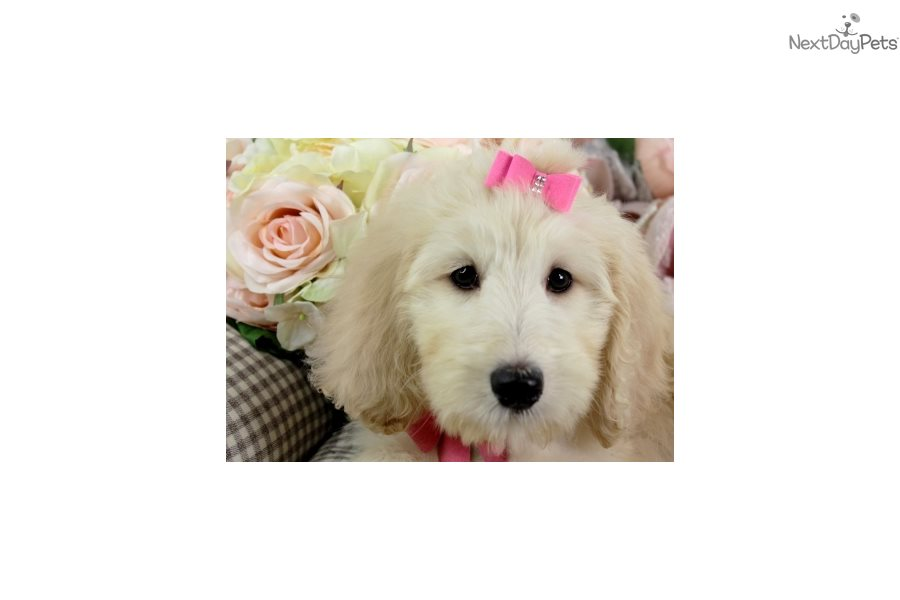 Goldendoodle Puppy For Sale Near Fort Lauderdale Florida