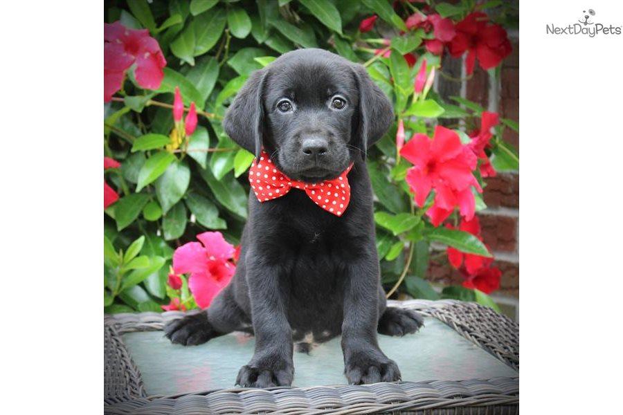 Labrador Retriever Labrador Retriever Puppy For Sale Near Fort