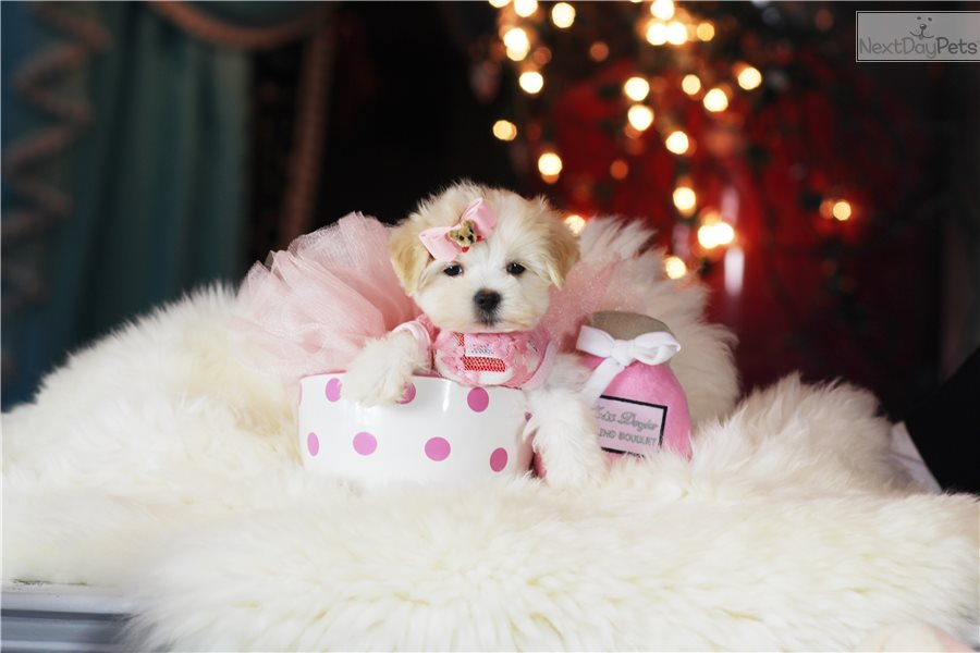 Maltese: Maltese puppy for sale near Fort Lauderdale, Florida