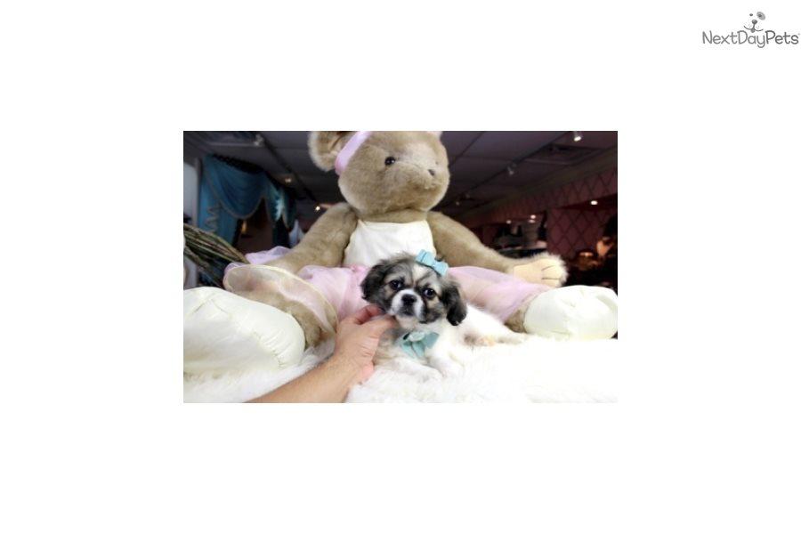 Pekignese: Pekingese puppy for sale near Fort Lauderdale