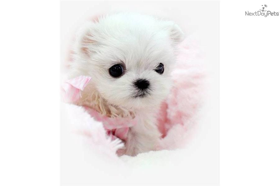 Meet MALTESE a cute Maltese puppy for sale for $1,250. WWW ...