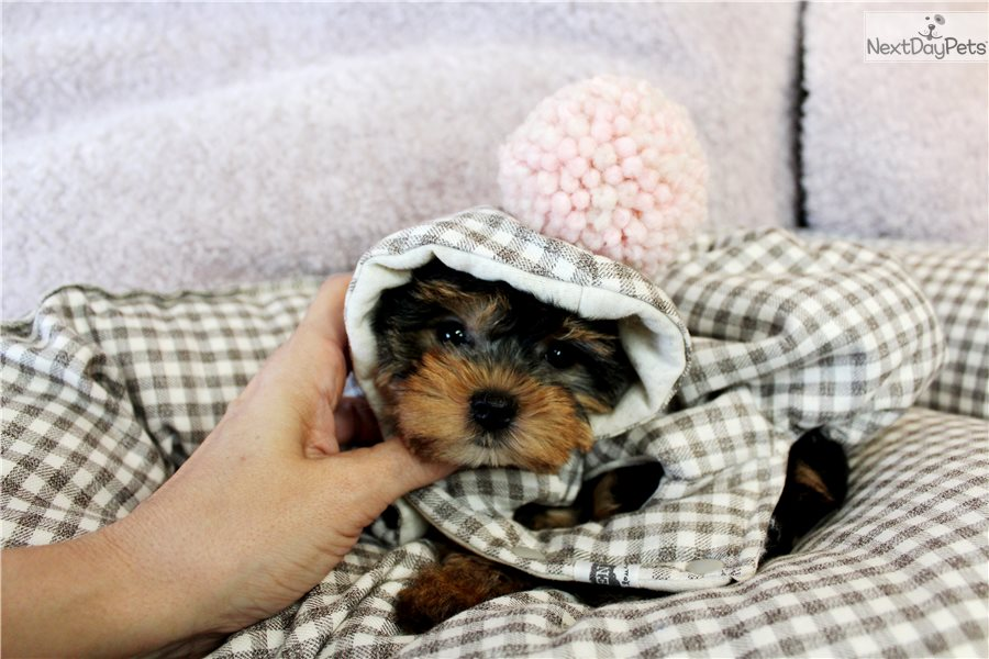 Yorkies Yorkshire Terrier Yorkie Puppy For Sale Near Fort