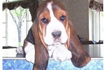 Featured Breeder of Basset Hounds with Puppies For Sale