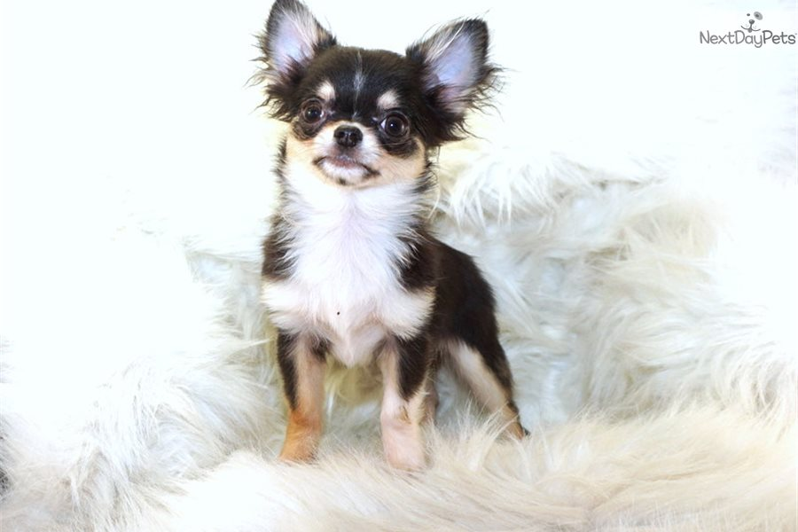 Leo Chihuahua Puppy For Sale Near Hattiesburg Mississippi