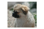 Picture of a Tibetan Spaniel Puppy