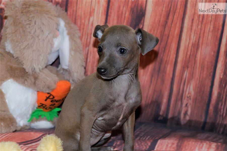 Reebeca: Italian Greyhound puppy for sale near Southeast ...