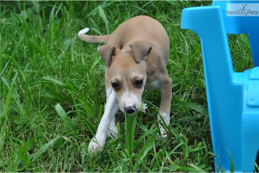 Italian Greyhound pupp...