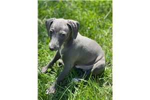 Italian Greyhounds for sale