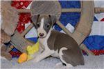 Italian Greyhound for sale