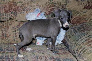 Italian Greyhounds for sale