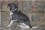 Italian Greyhound for sale