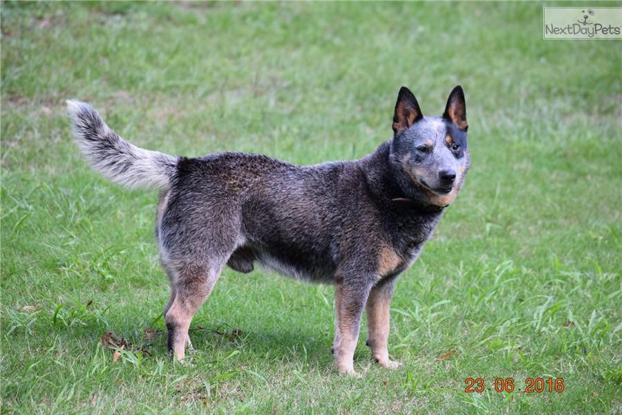 Blue Heelers For Sale : Pup #1622 02: australian cattle dog blue heeler puppy for sale near
