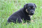 Picture of a Hunt Terrier Puppy